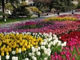 Круговорот тюльпанов в Севастополе за бюджетные миллионы